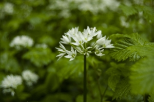 Wild Garlic - Eleanor Greenwood