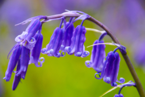 English Bluebell © Liz Lewis